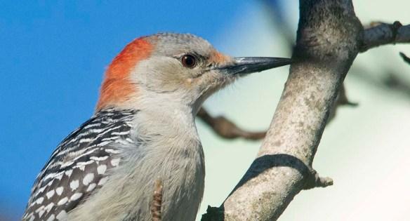 Red Bellied Woodpecker 2021-4