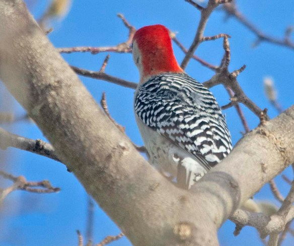Red Bellied Woodpecker 2021-5