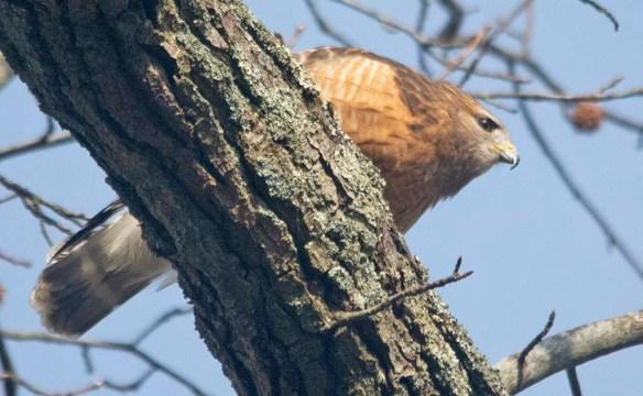 Red Shouldered Hawk 2021-12