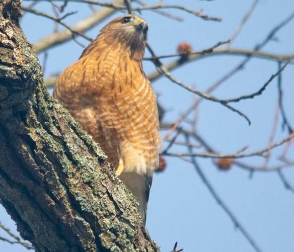 Red Shouldered Hawk 2021-13