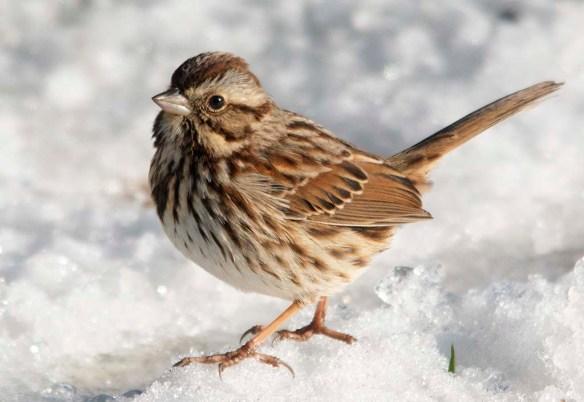 Song Sparrow 2021-14