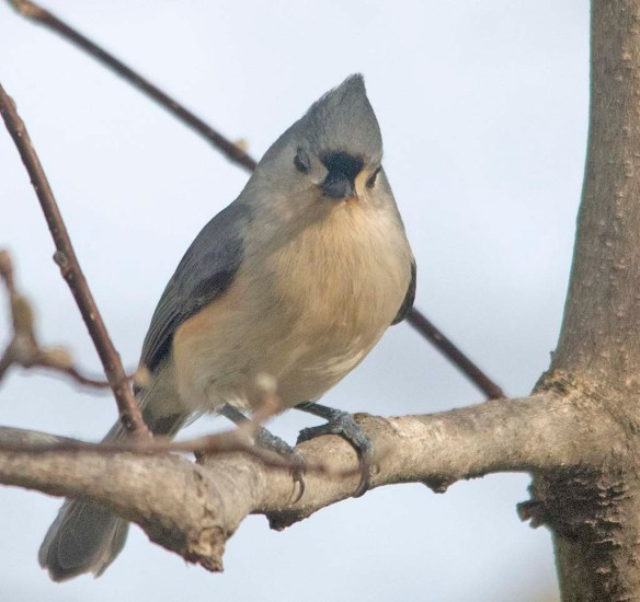 Tufted Titmouse 2021-5