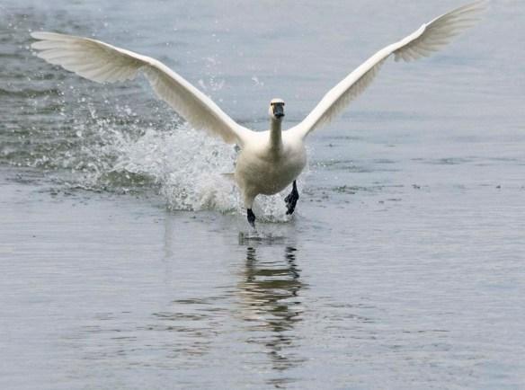 Tundra Swan 2021-67