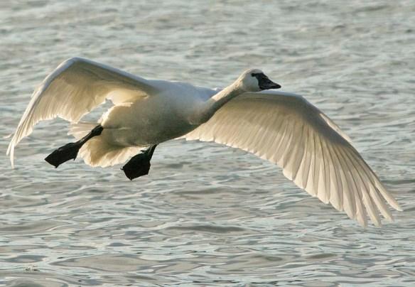 Tundra Swan 2021-84