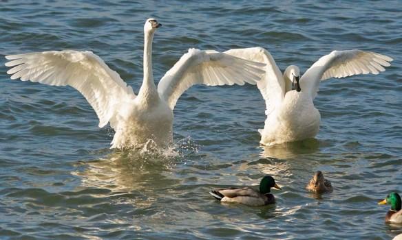 Tundra Swan 2021-87