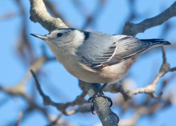 White Breasted Nuthatch 2021-14