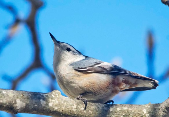 White Breasted Nuthatch 2021-6