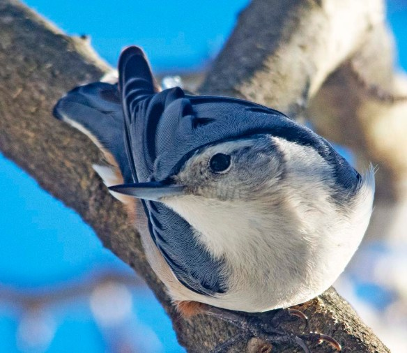 White Breasted Nuthatch 2021=6