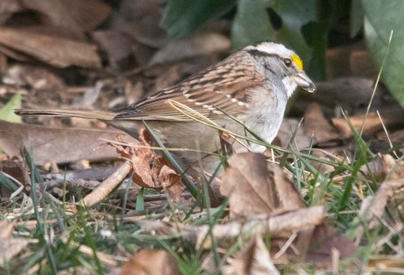 White Throated Sparrow 2021-18