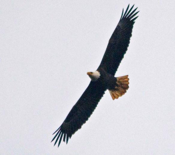 Bald Eagle 2021-11
