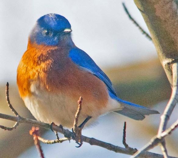 Eastern Bluebird 2020-13