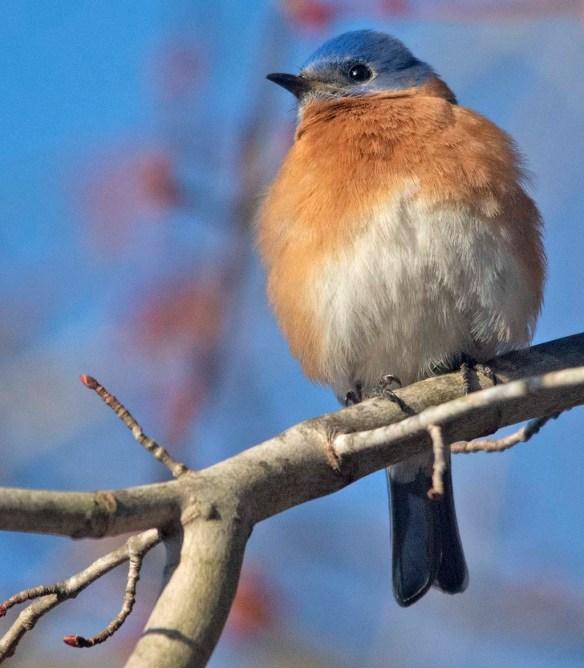 Eastern Bluebird 2020-19