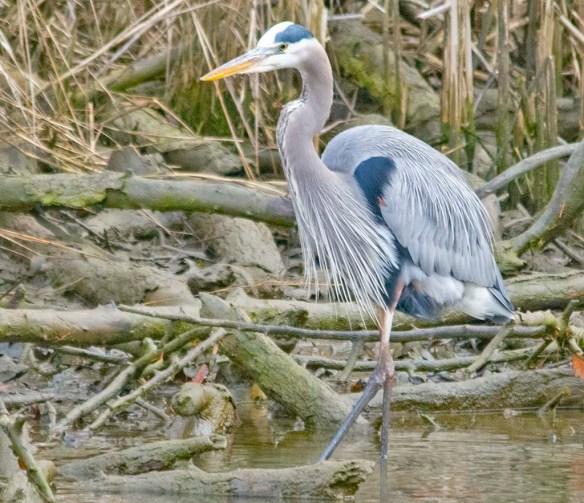 Great Blue Heron 2021-8
