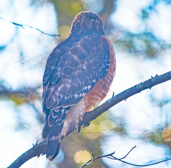 Red Shouldered Hawk 2021-25
