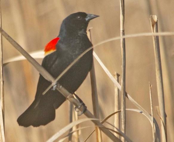 Red Winged Blackbird 2020-2