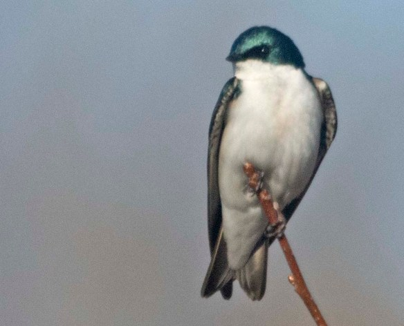 Tree Swallow 29021-2