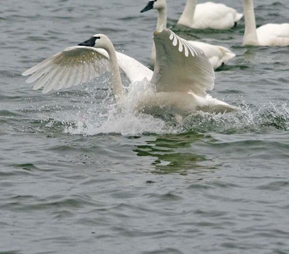Tundra Swan 2021-89