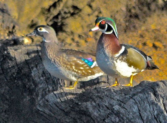 Wood Duck 2021-16