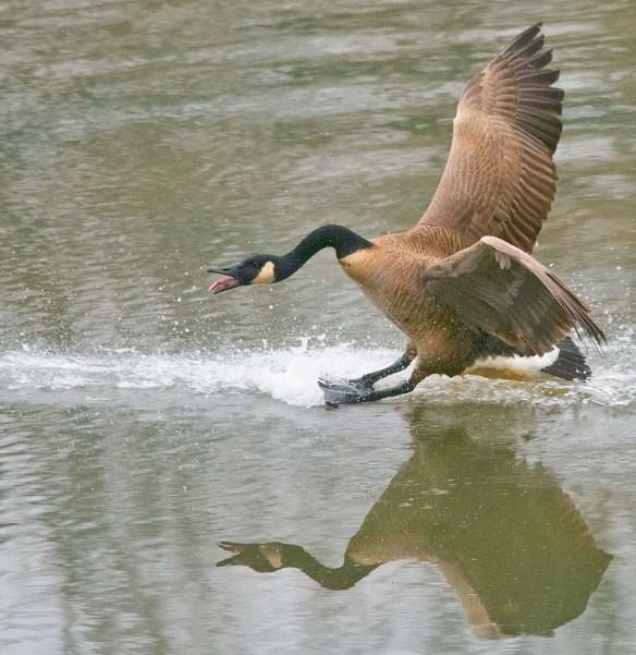 Canada Goose 2021-48