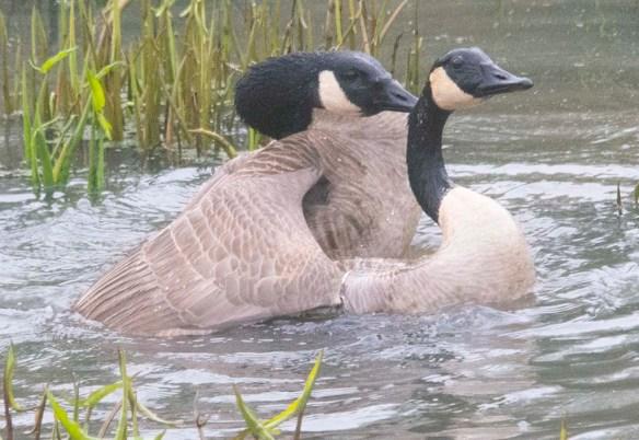 Canada Goose 2021-50