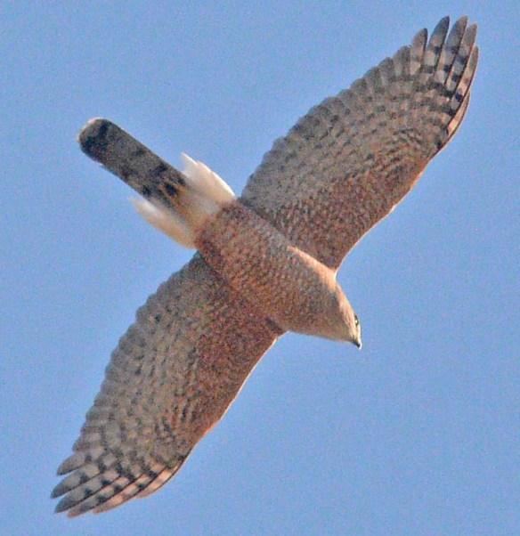 Cooper's Hawk 2021-6