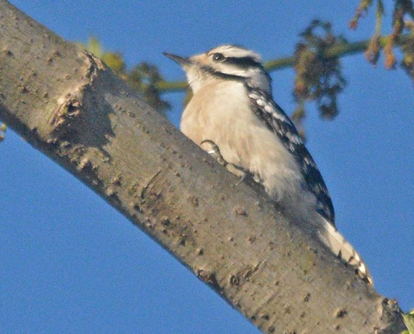 Downy Woodpecker 2021-23