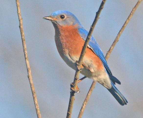 Eastern Bluebird 2020-25