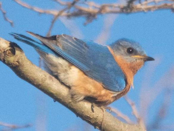 Eastern Bluebird 2020-26