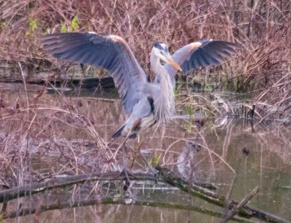 Great Blue Heron 2021-30