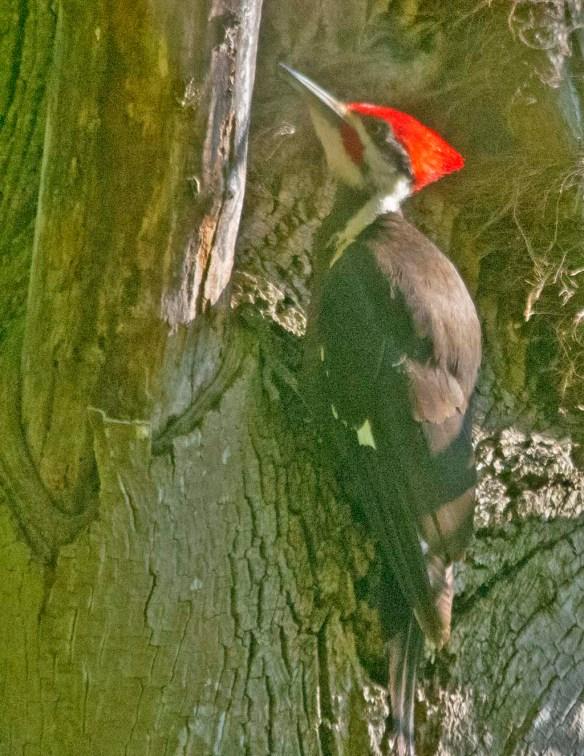 Pileated Woodpecker 2021-10