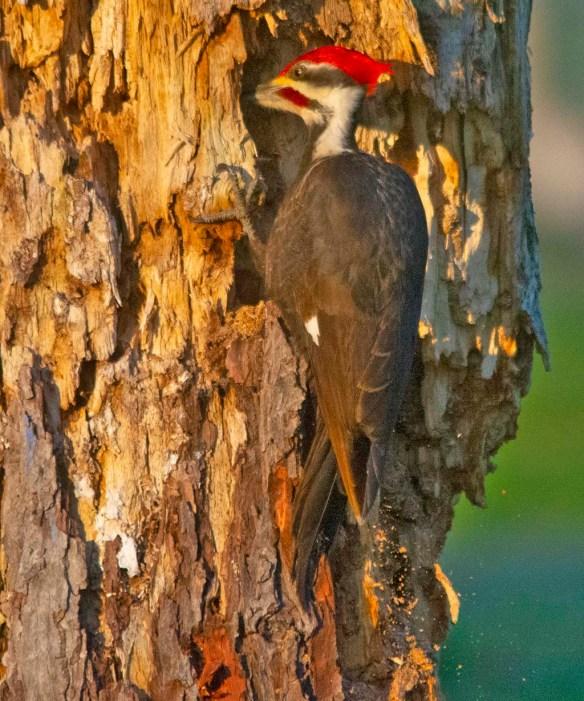 Pileated Woodpecker 2021-14