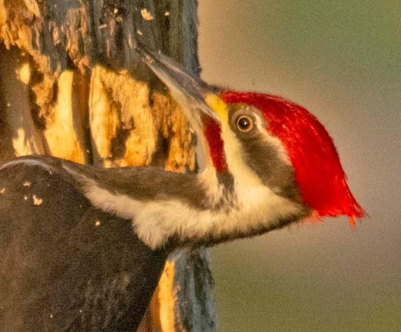 Pileated Woodpecker 2021-15