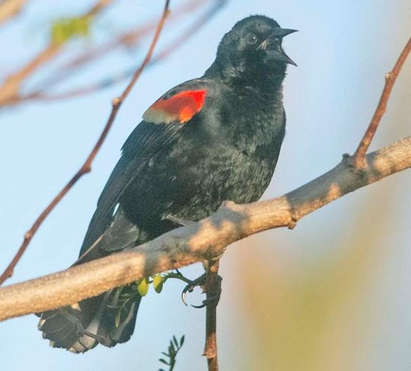 Red Winged Blackbird 2020-4