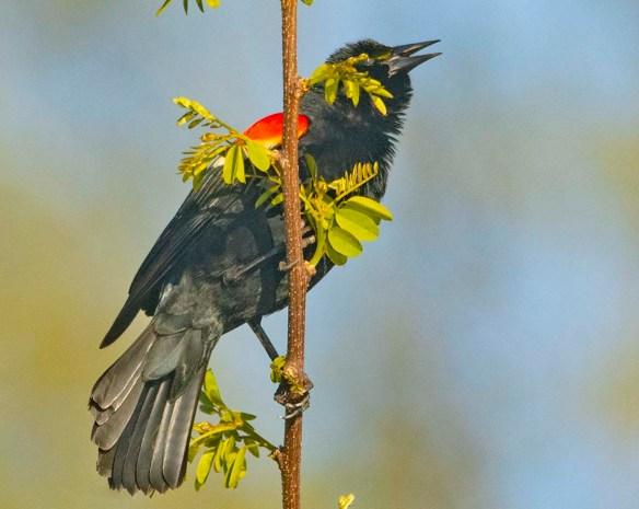 Red Winged Blackbird 2021-1