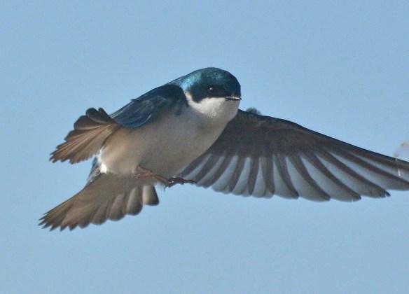 Tree Swallow 29021-5