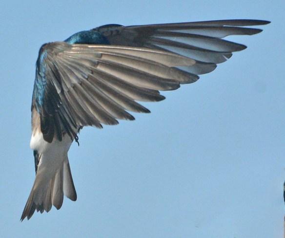 Tree Swallow 29021-6