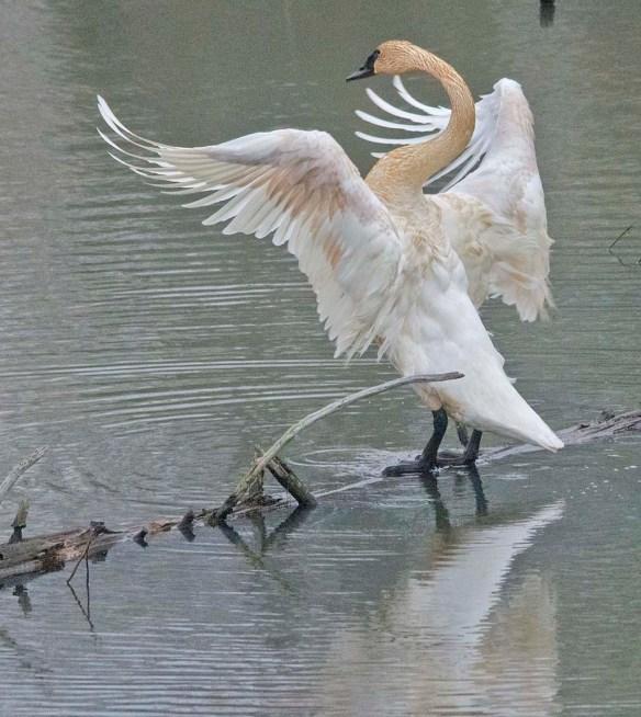 Trumpeter Swan 2021-12