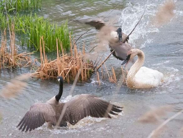 Trumpeter Swan 2021-21