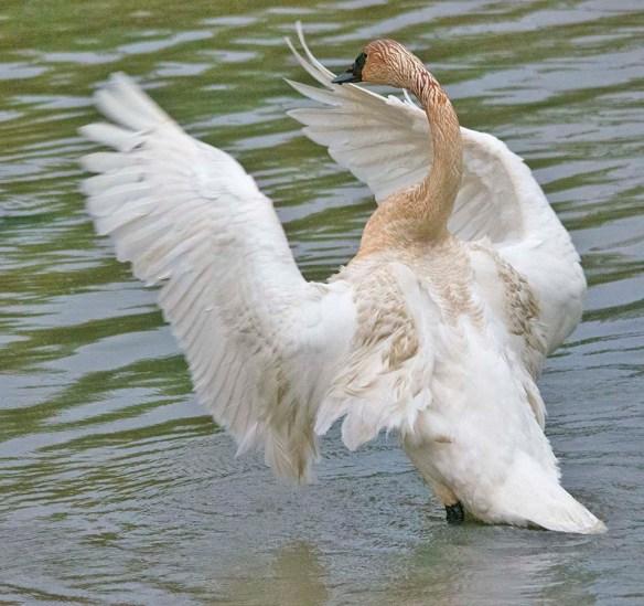Trumpeter Swan 2021-26