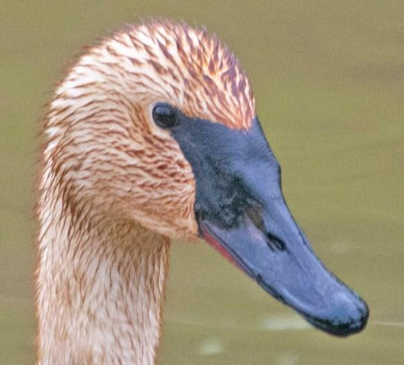 Trumpeter Swan 2021-37