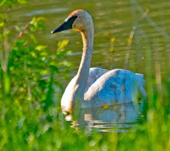 Trumpeter Swan 2021-41