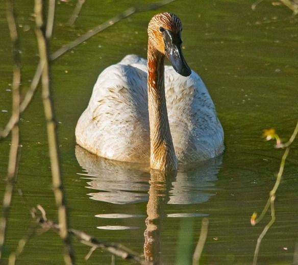 Trumpeter Swan 2021-42