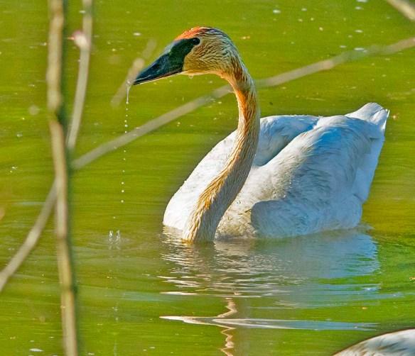 Trumpeter Swan 2021-43