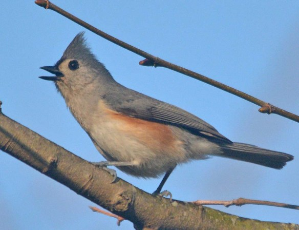 Tufted Titmouse 2021-8