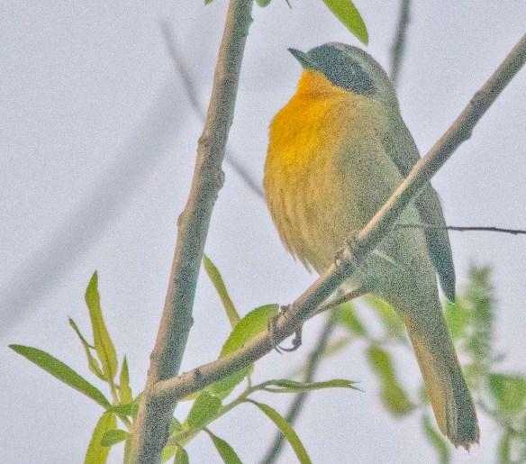 Common Yellowthroat 2020-1