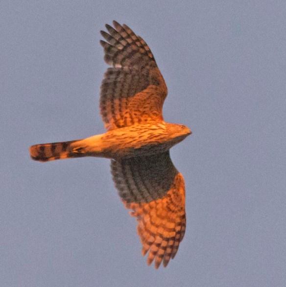 Cooper's Hawk 2021-7