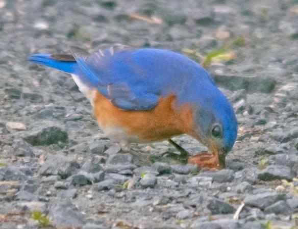 Eastern Bluebird 2020-42