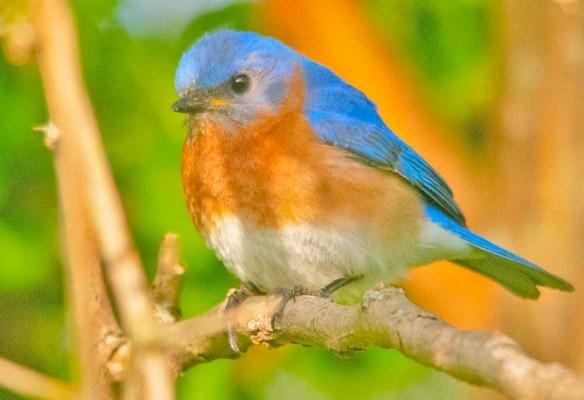 Eastern Bluebird 2020-45