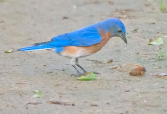 Eastern Bluebird 2020-54
