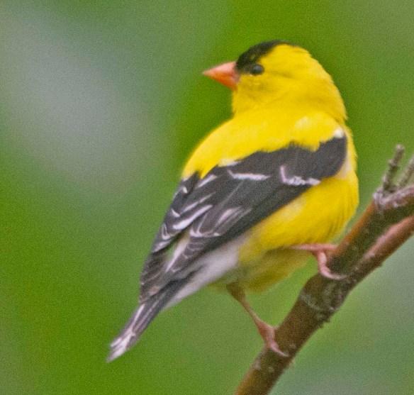 Goldfinch 2021-4